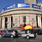 wielbłąd reklamowy w Warszawie
